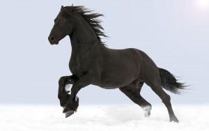 Black-horse1